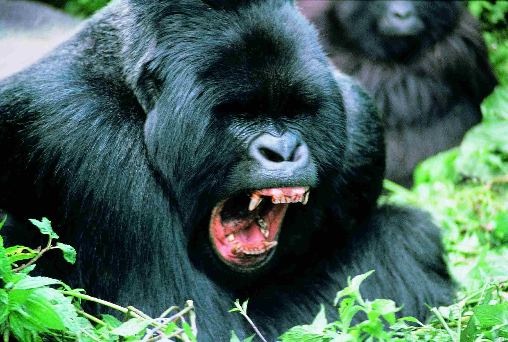 Gorilla posturing
