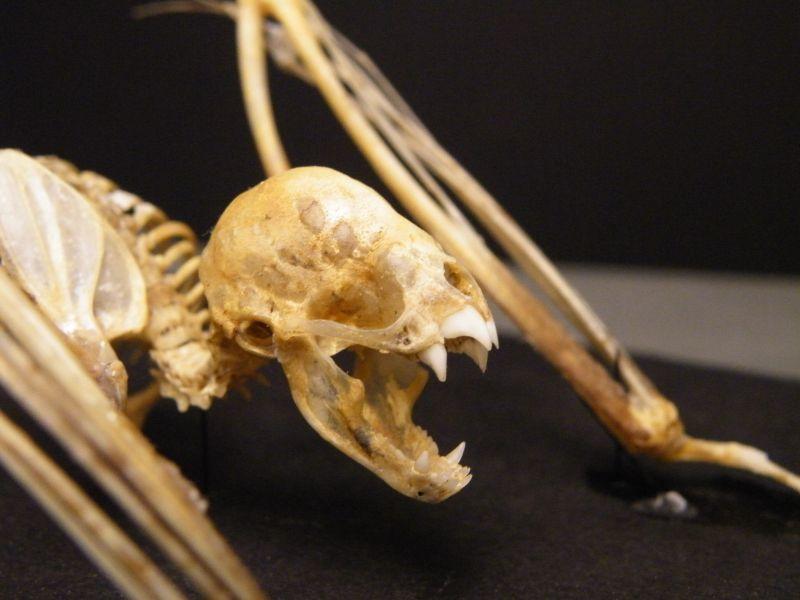 Skull of a vampire bat