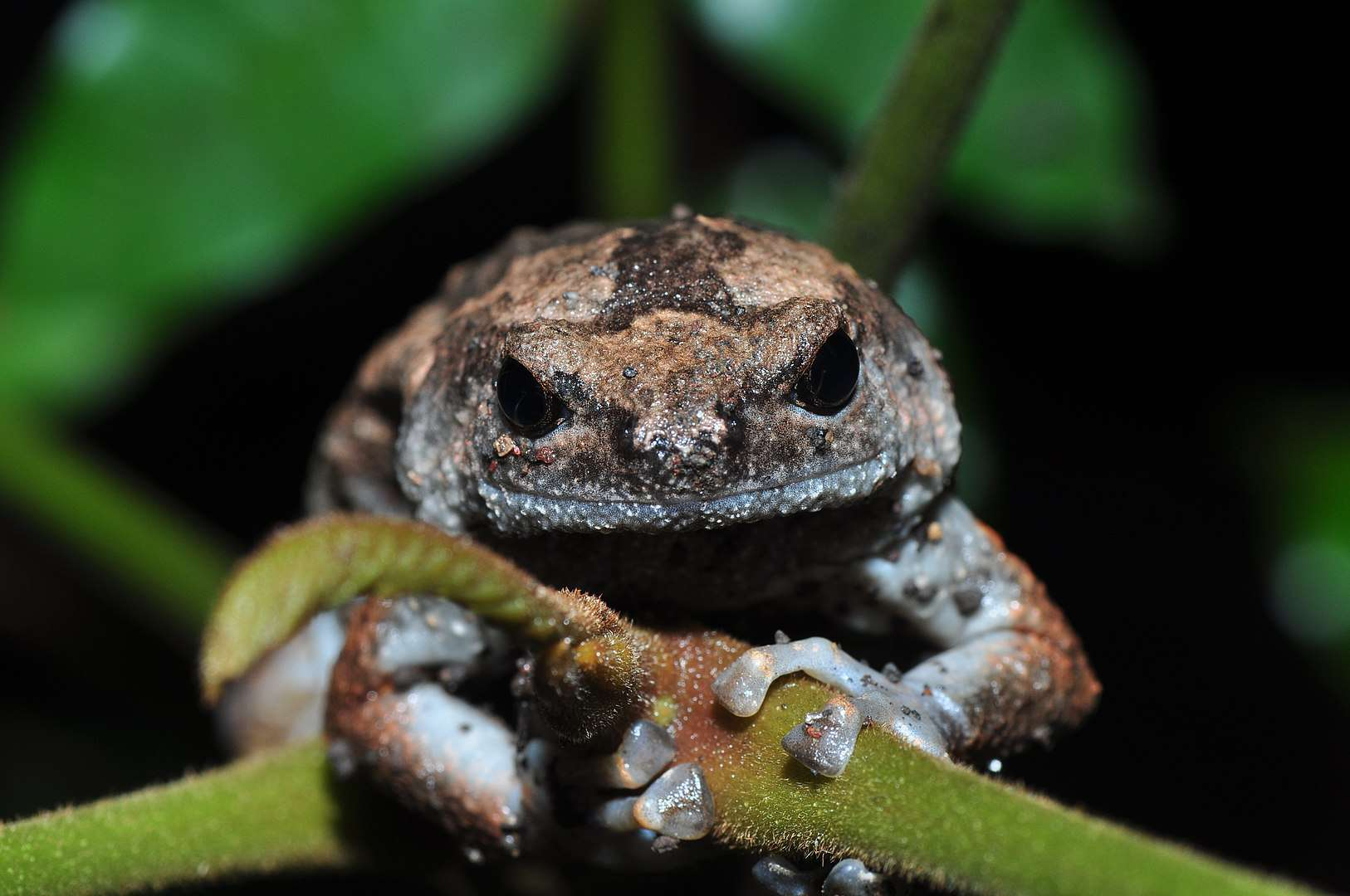 Banded tree frog close up.