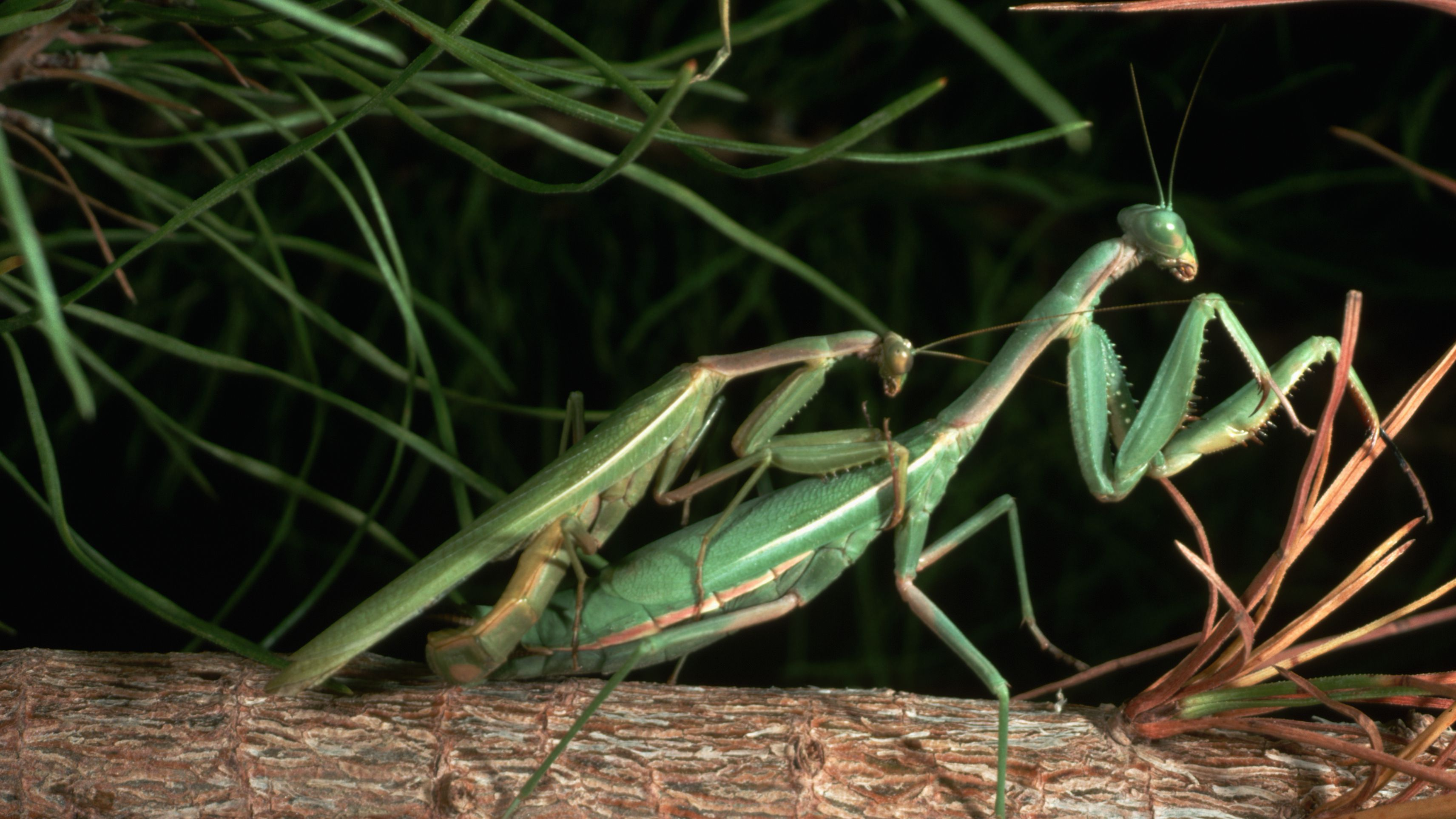 Praying Mantis Mating and Cannibalism
