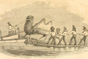 Illustration of US sailors loading a camel aboard a ship in 1856.