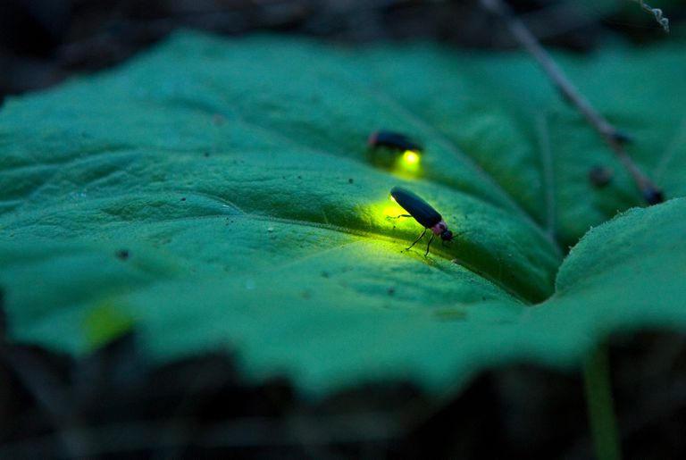 Fireflies on a leaf
