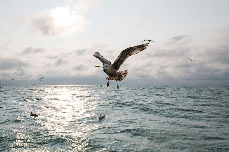 Seagulls fly alongside a fishing boat in Canada