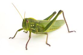 Most grasshoppers belong to the family Acrididae.