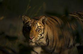 The tigers hunt prey at night.