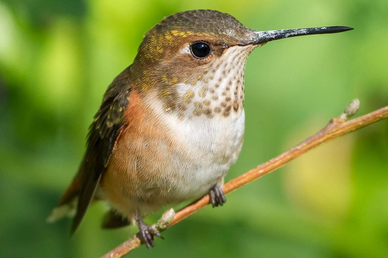 Rufous Hummingbird standing on a branch