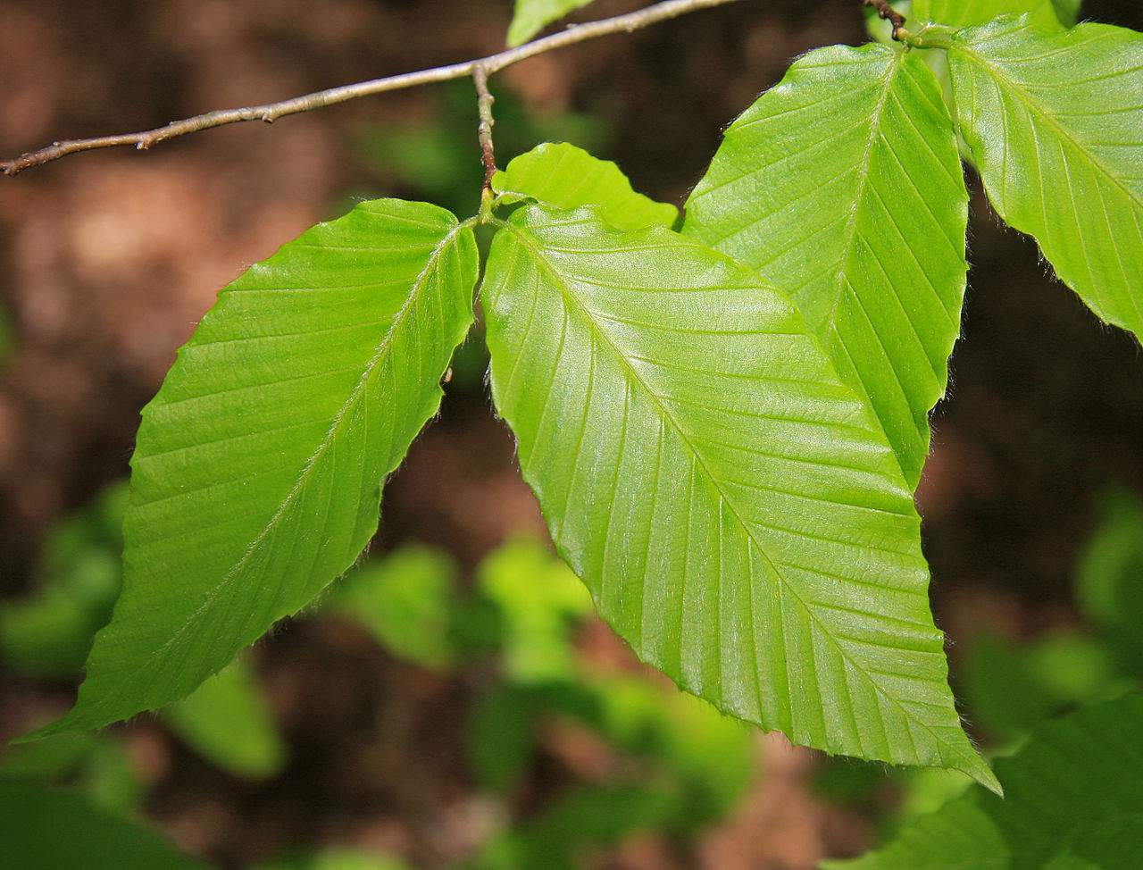 How To Identify Common North American Trees By Leaf
