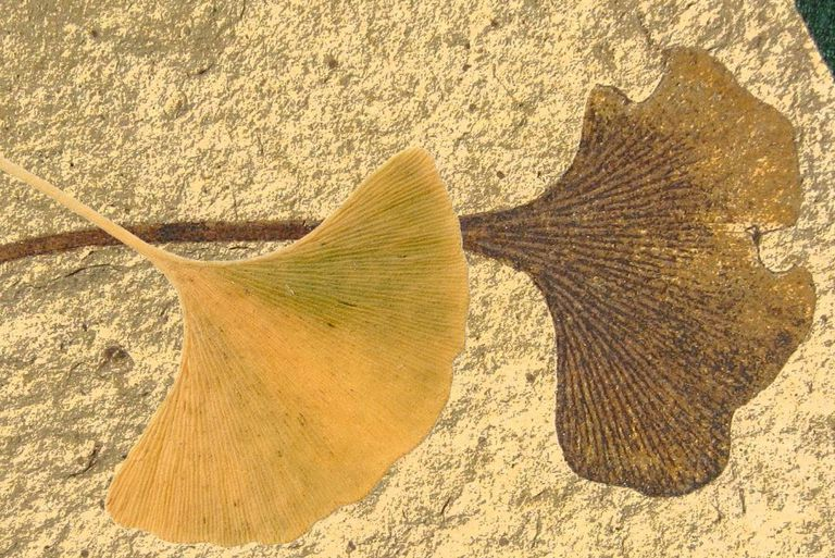 Ginkgo leaf fossil and Ginko leaf