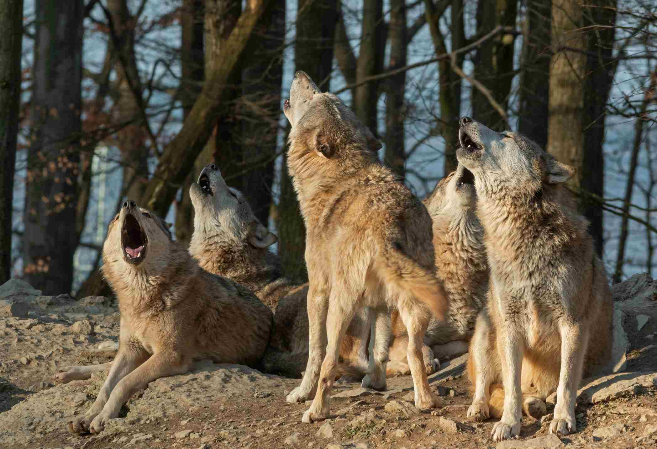 Howling canadian timberwolves in front of a forest.