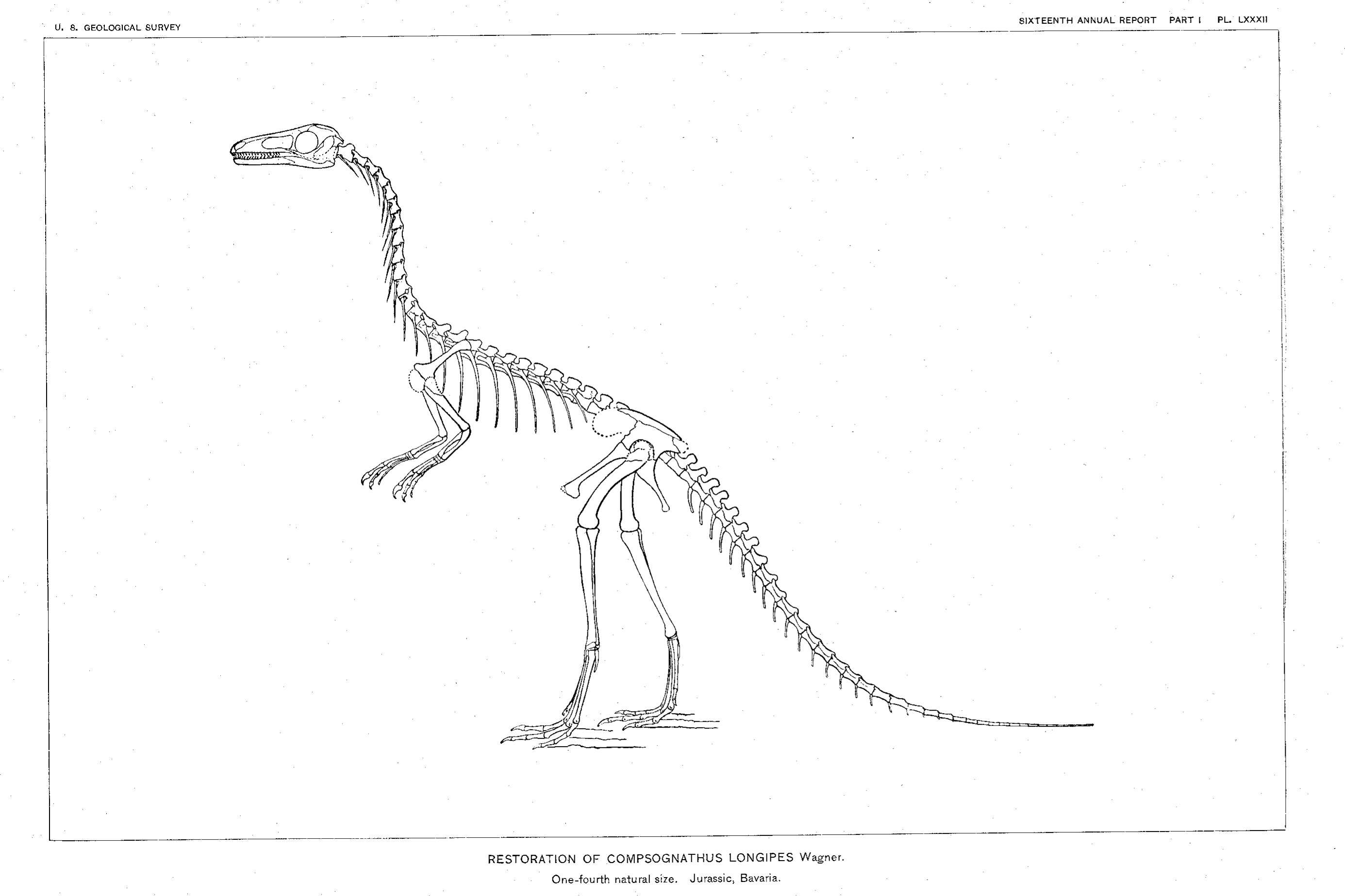 A sketch of the full compsognathus skeleton by Marsh, 1896