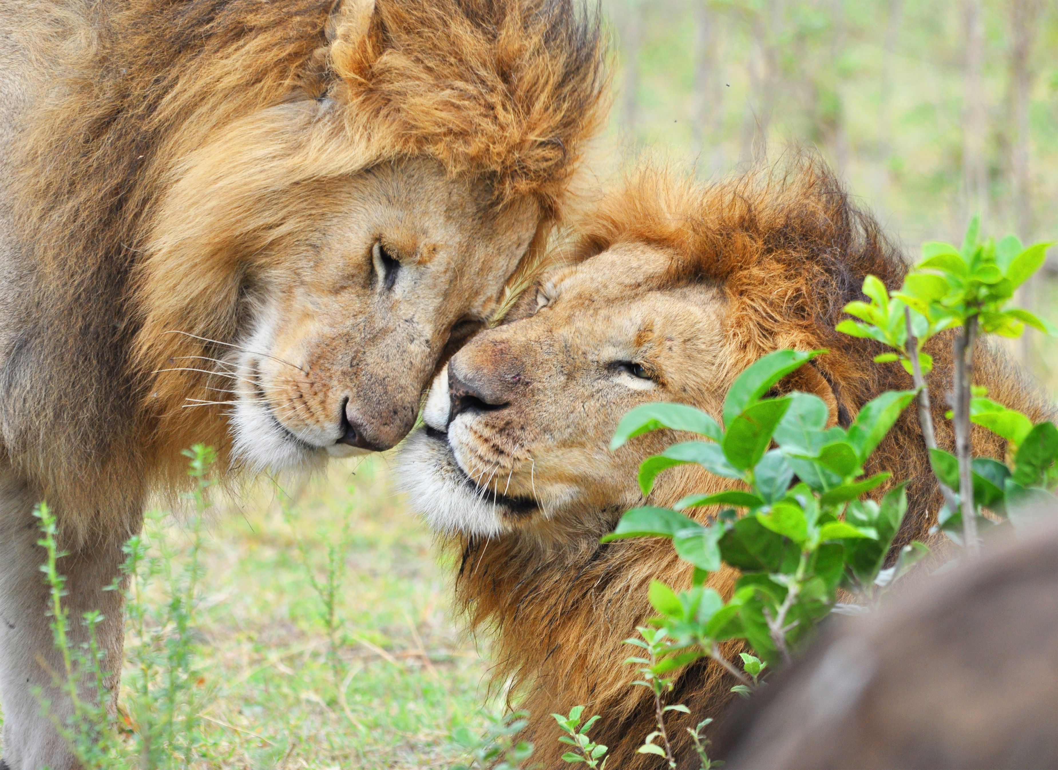 When lions and other cats rub heads, they exchange scent markers.