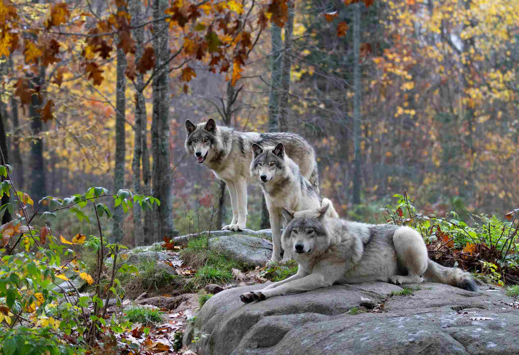 Three Timber wolves in Autumn rain