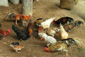 Chickens, Chang Mai, Thailand