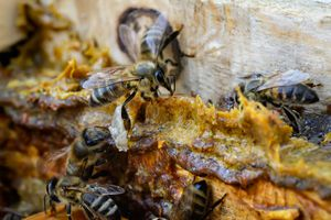 Propolis (bee glue) in a hive with bees