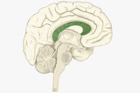 The corpus callosum, in the center of the brain, highlighted in green