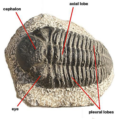 Trilobites  Subphylum Trilobita
