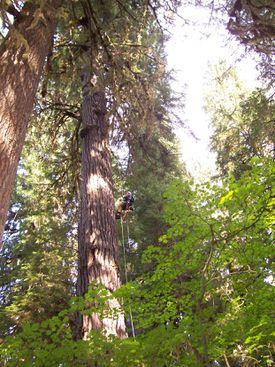 Person Climbing an Old Growth Doug Fir