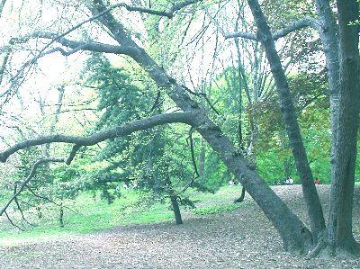 Central Park Black Tupelo