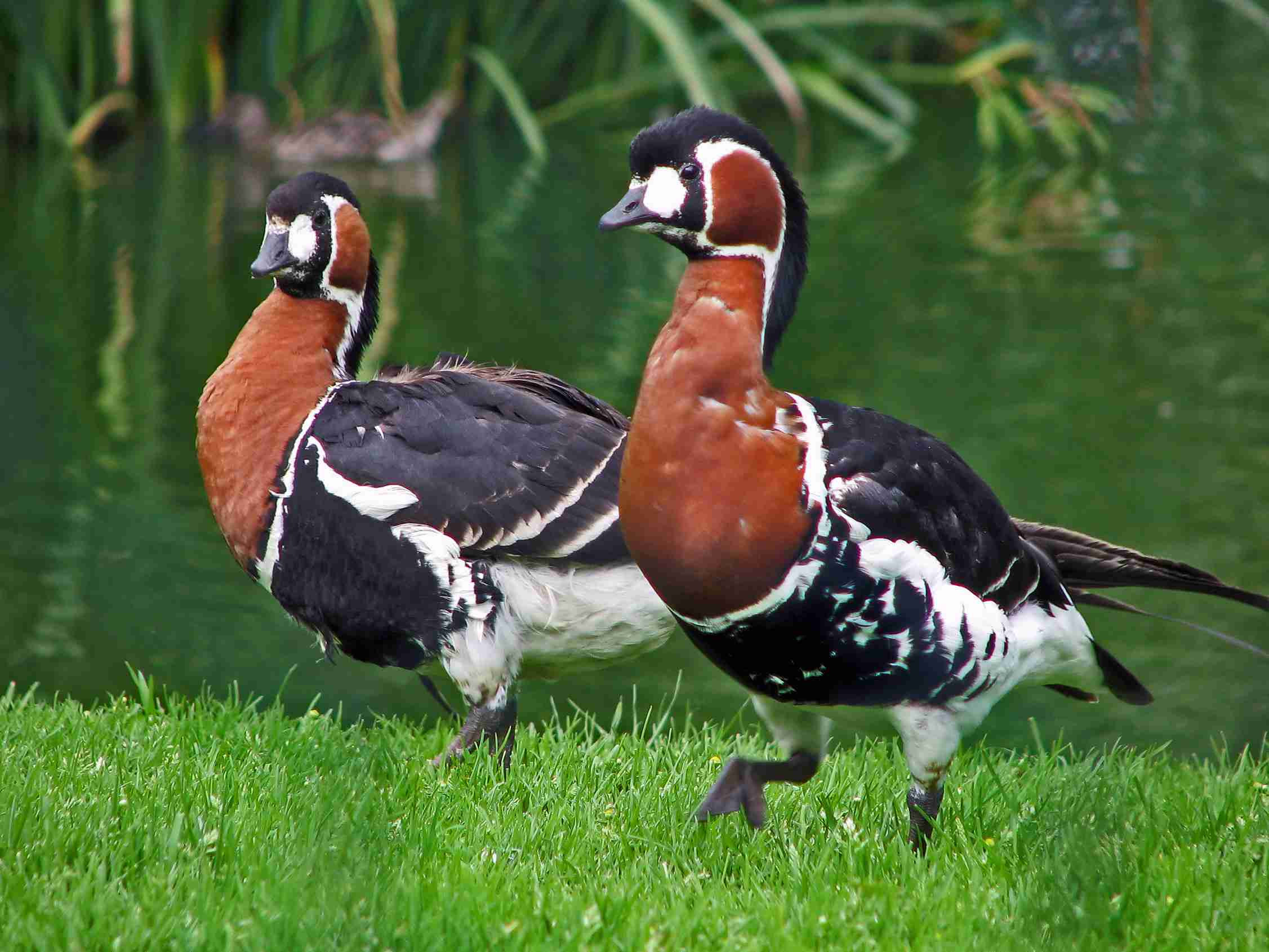 Red breasted geese on the grass