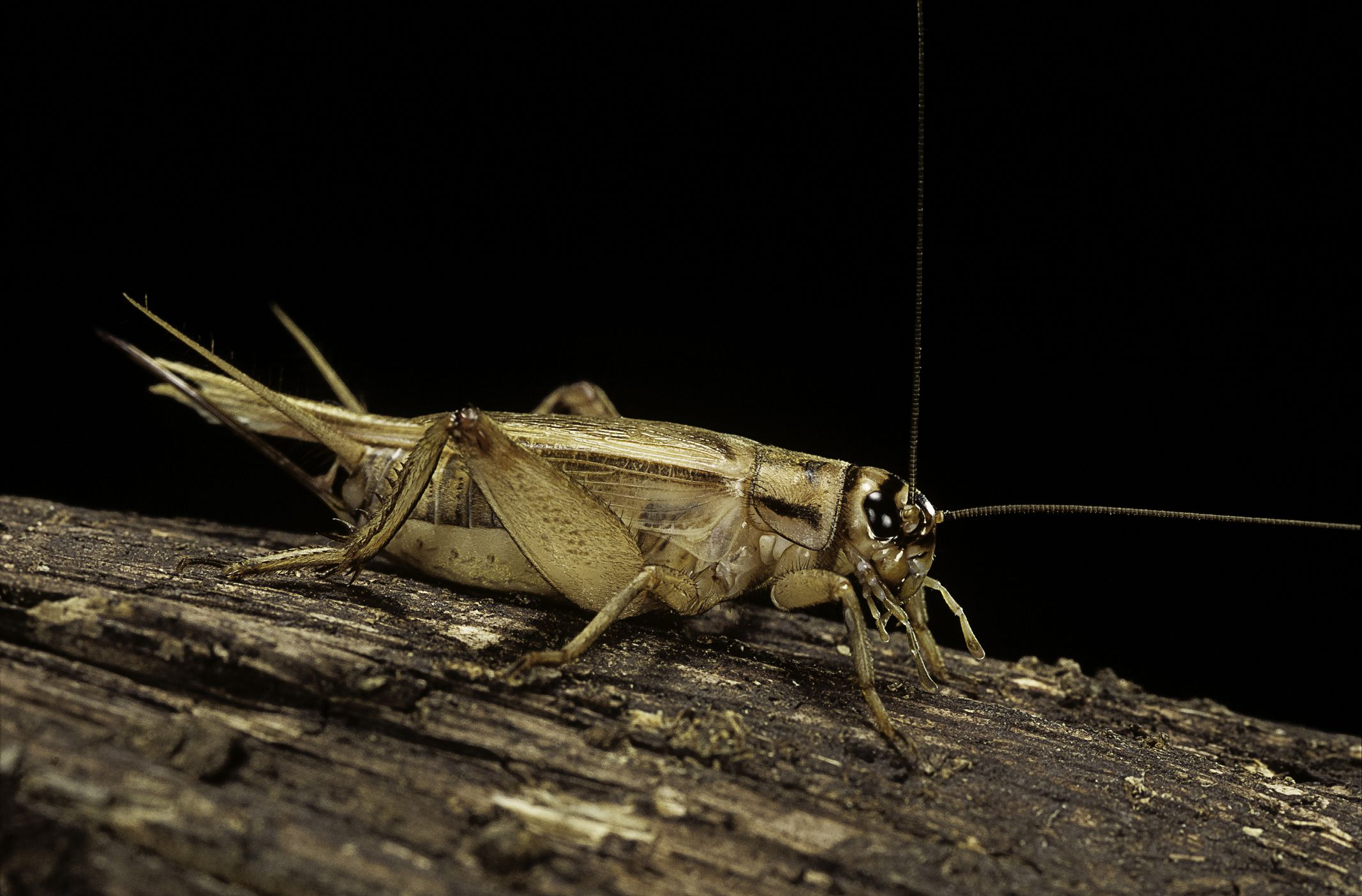 10 Fascinating Facts About Crickets