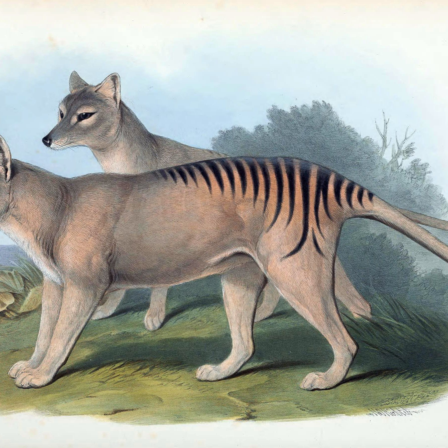 10 Facts About The Tasmanian Tiger