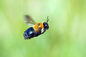 Do carpenter bees sting?