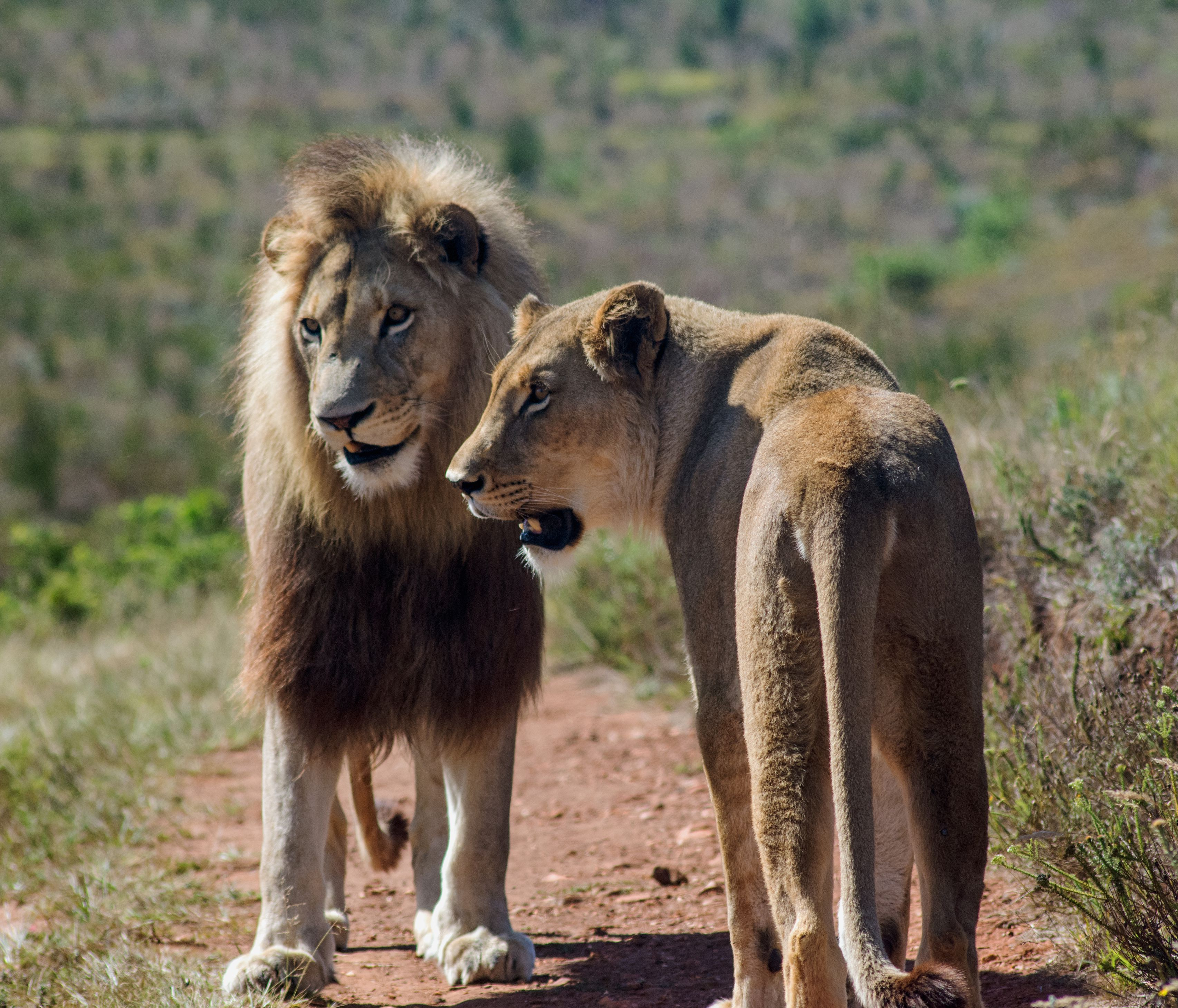 African Lion Facts: Habitat, Diet, Behavior