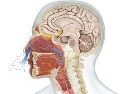 Digital illustration of the human olfactory system.