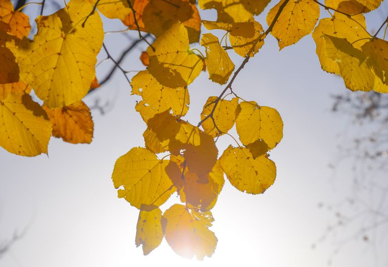 Yellow leaves of linden against the sky and the backlight. Autumn background from leaves of a linden. Yellow autumn leaves