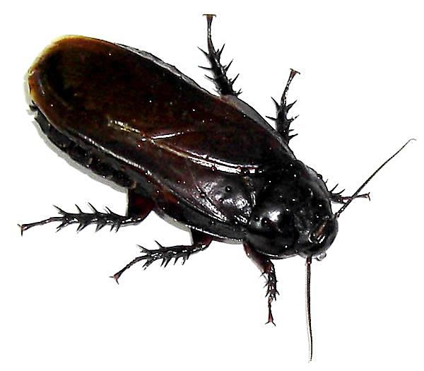 Order Dictyoptera