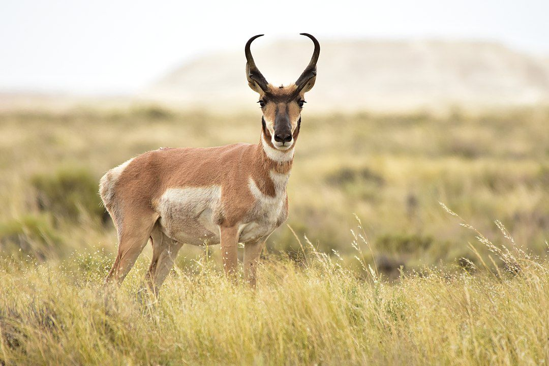 Pronghorn standing in grass looking at the camera.