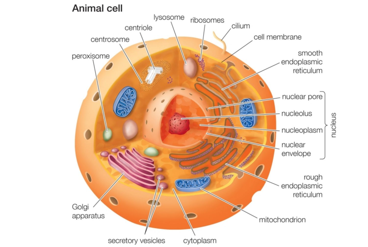 Animal cells and the membrane bound nucleus ccuart Images
