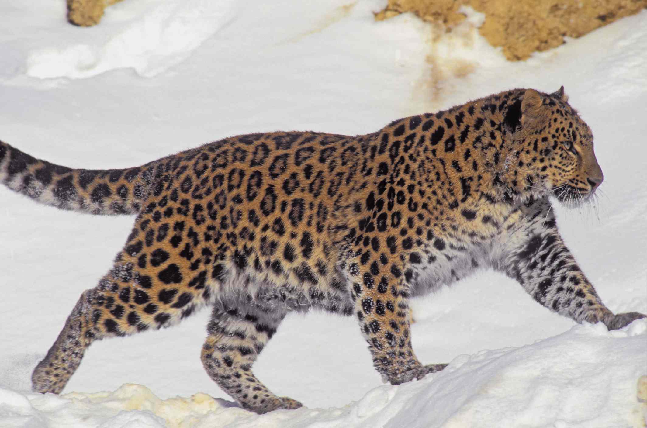 Rare & Endangered Panthera pardus orientalis