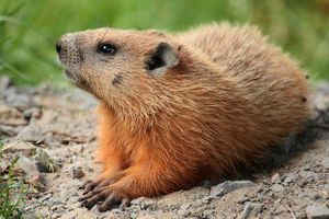 The groundhog is a type of marmot found in North America.