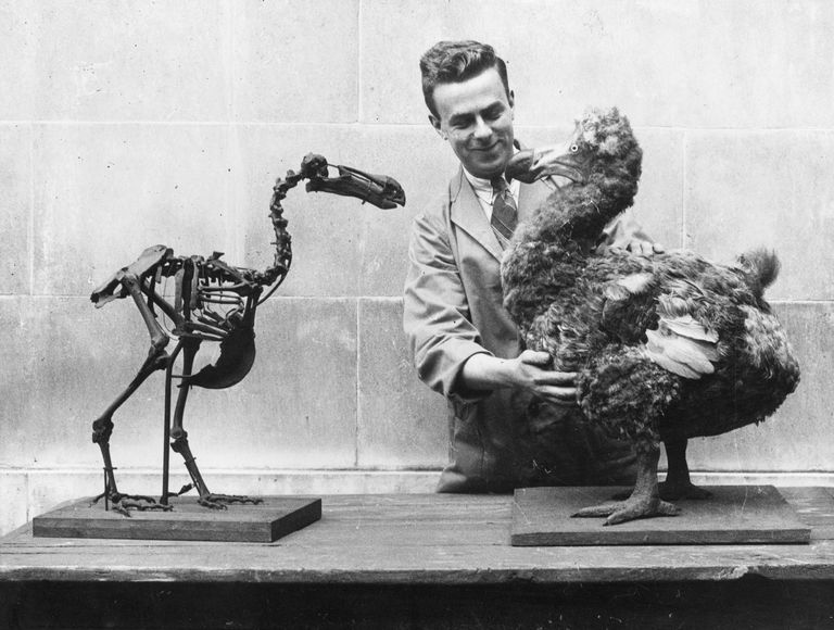 Dodo Skeleton next to taxidermy version