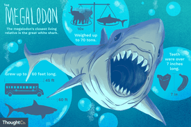 The megalodon's closest living relative is the great white shark