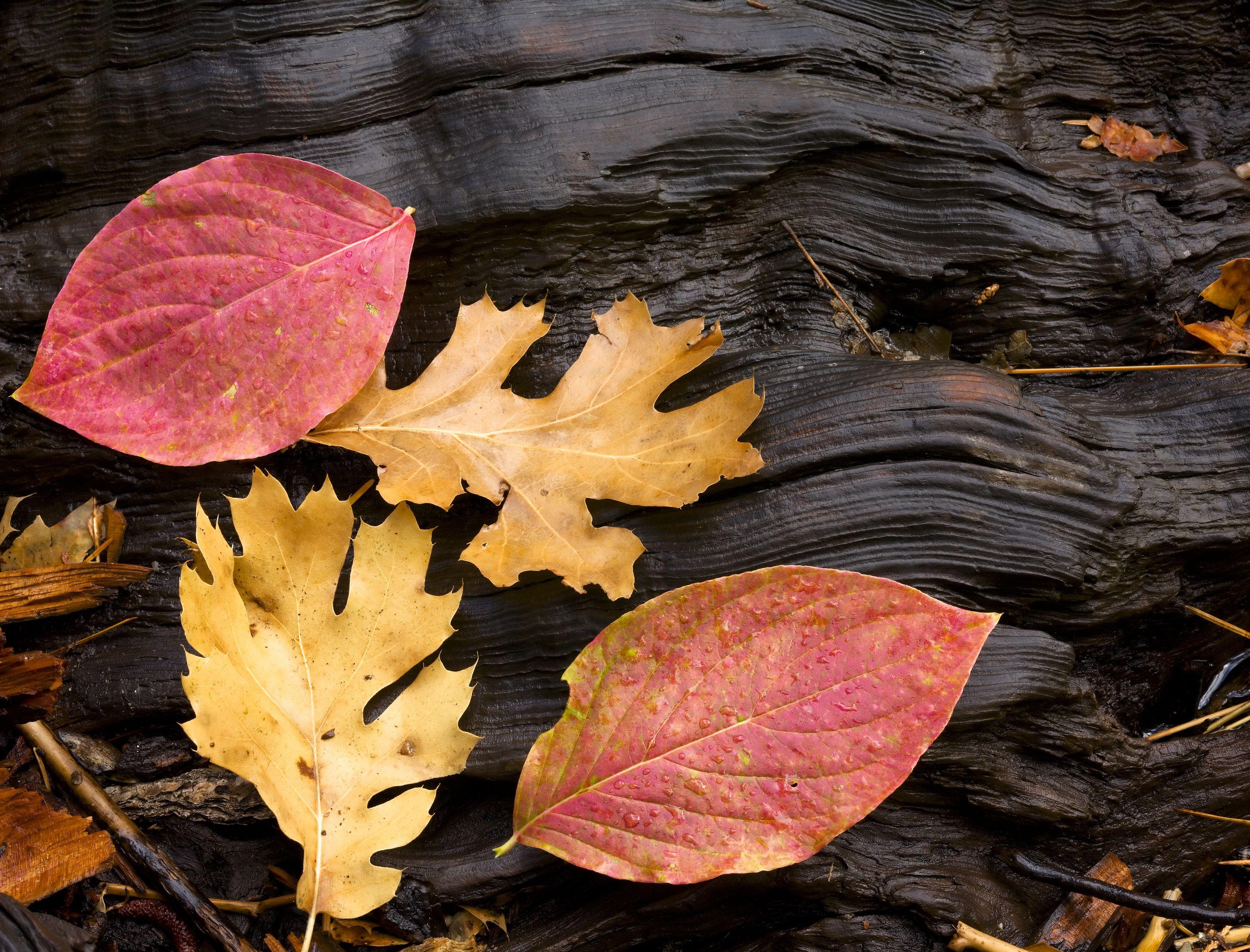 Dogwood and Oak Leaves