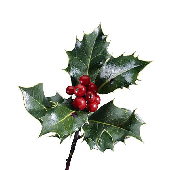 The toxic chemical in holly is theobromine, a stimulant that naturally occurs in chocolate, too.
