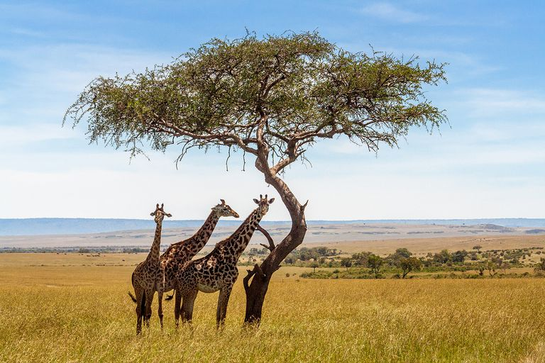 Three giraffes under acacia tree