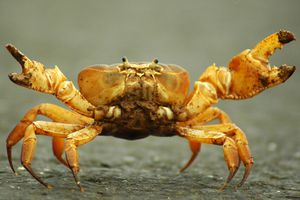 Crab with claws raised.