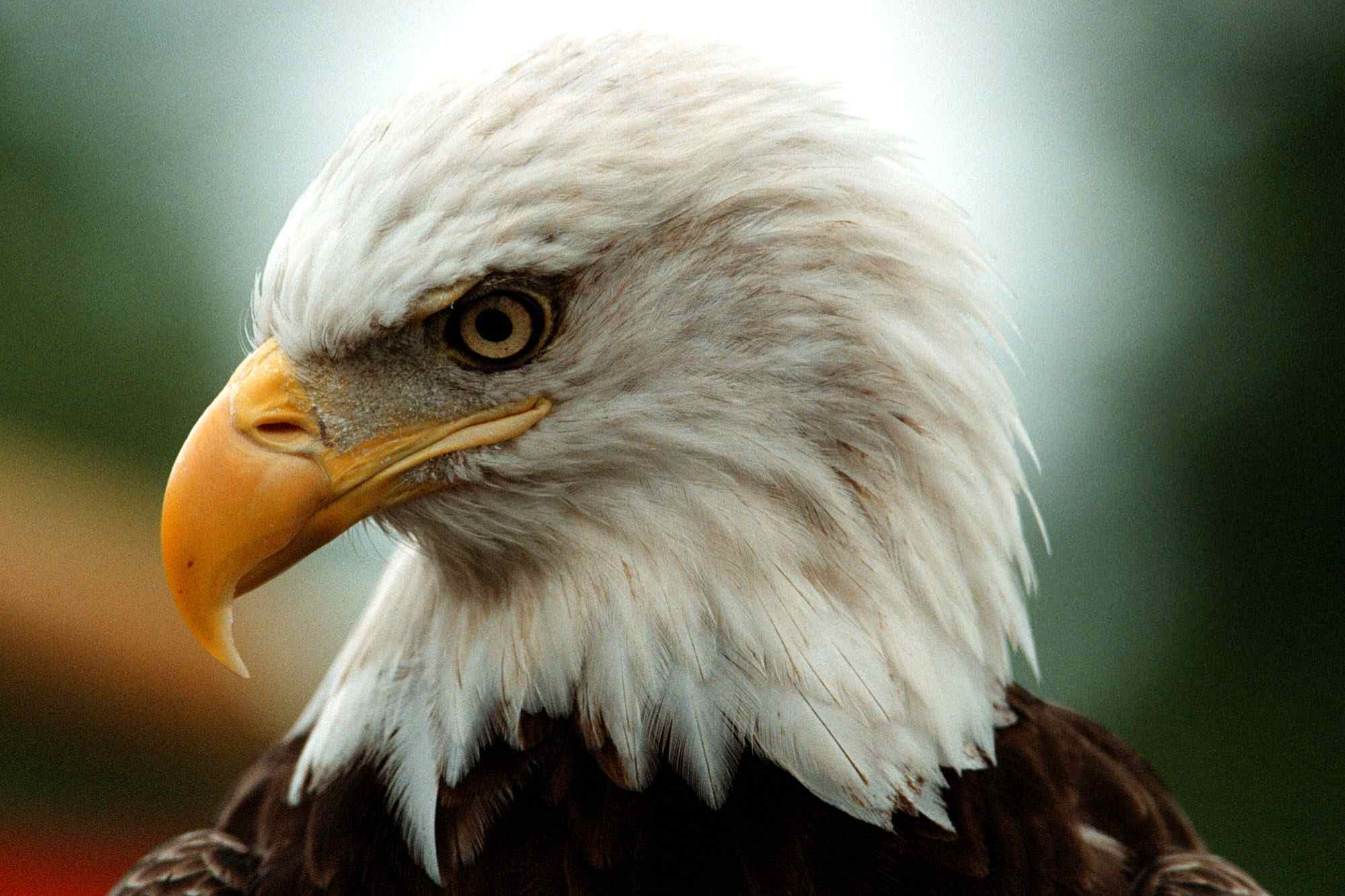 Challenger, a 10 year-old male bald eagle, sits quietly during an event to celebrate the success of the Endangered Species Act