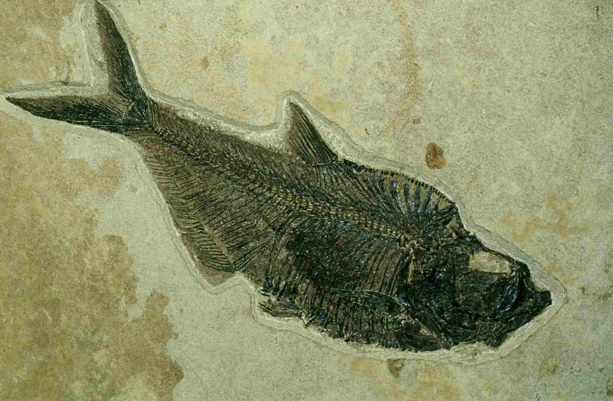 Diplomystus fossil