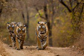 Three tigers (Panthera tigris) walking