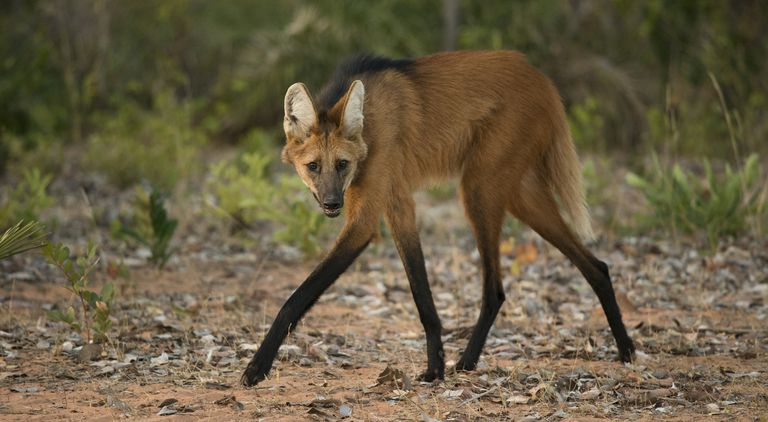 A maned wolf waking and looking at the camera.