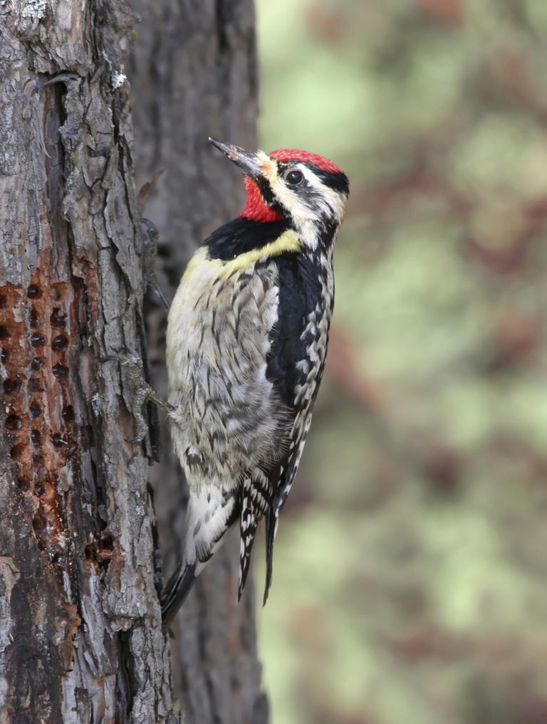 Dealing With Woodpecker And Sapsucker Tree Problems