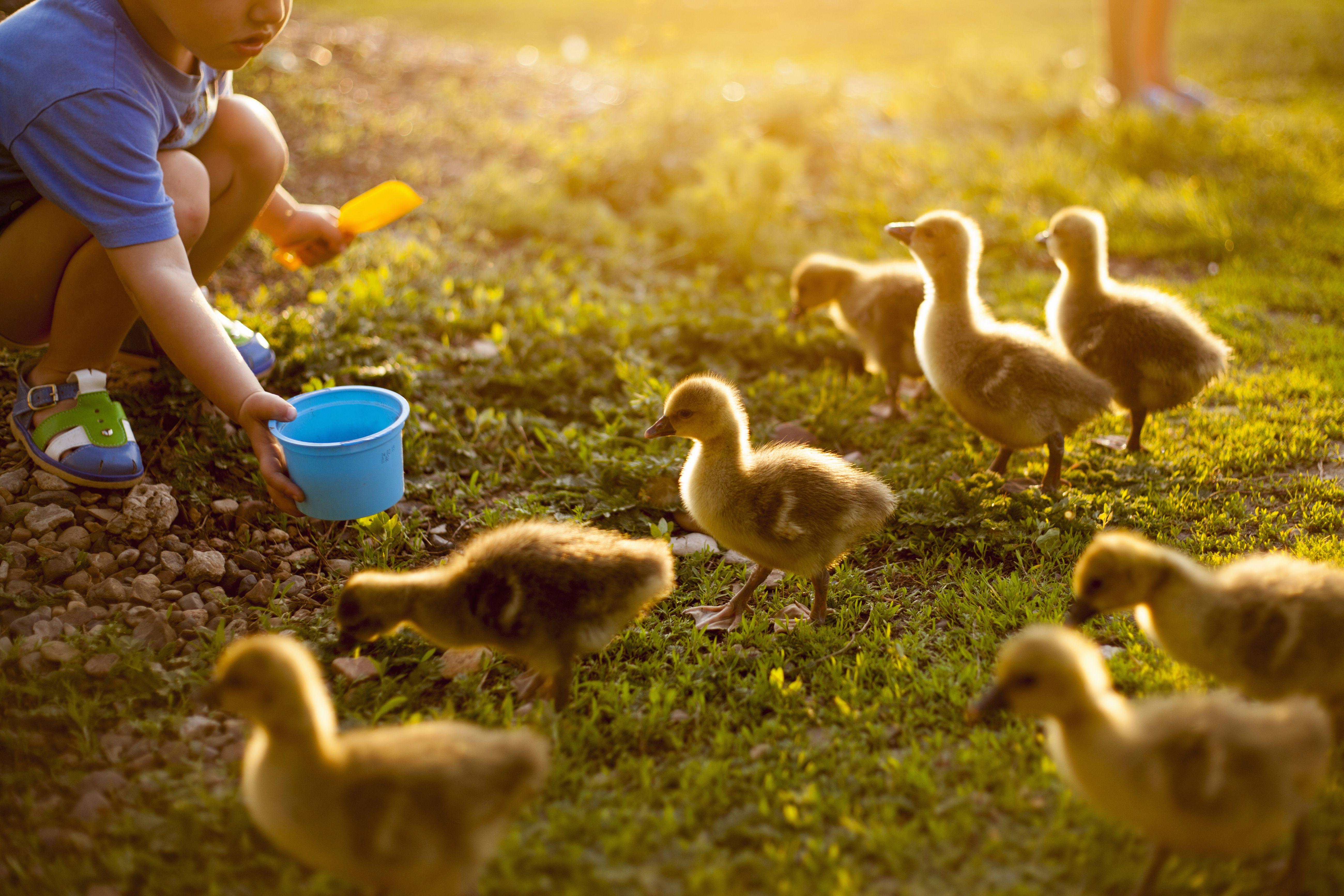 Ein Kind, das Enten auf einer Farm füttert