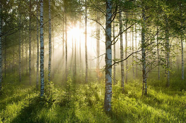 Sunlight in forest of birch trees