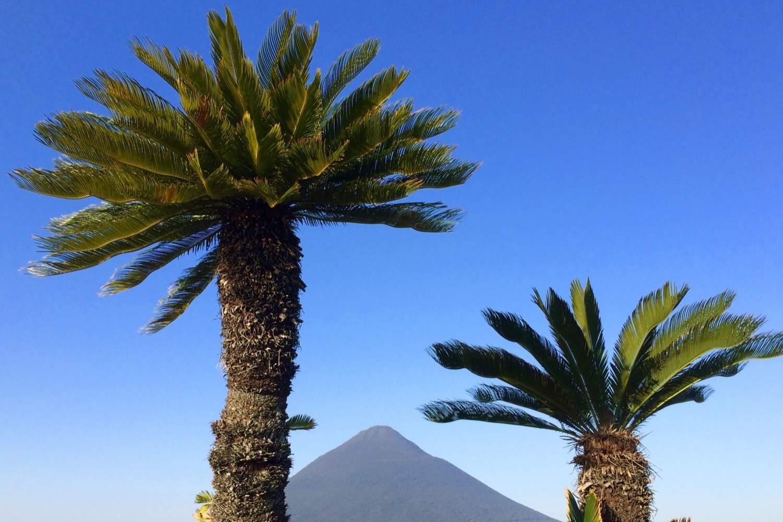 Sago Palms (Cycads)
