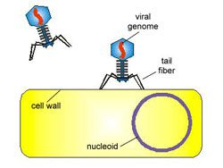 Bacteriophage Infecting a Bacterial Cell-1