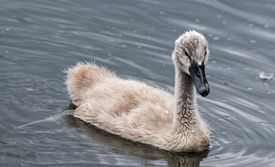 Ugly Duckling swimming
